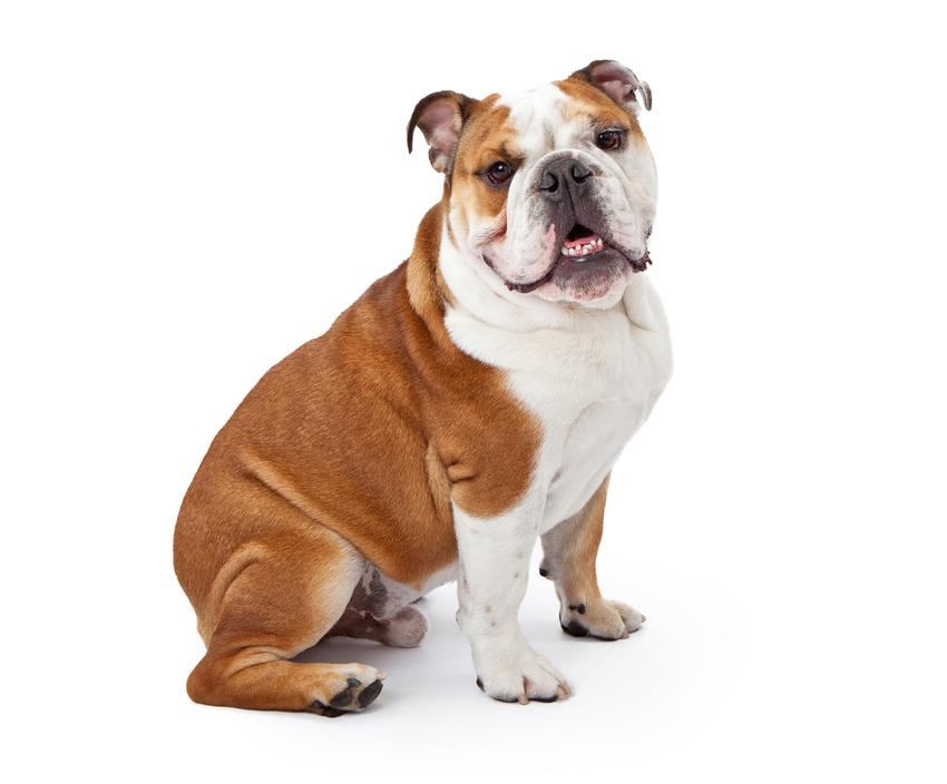 Pies rasy buldog angielski na białym tle i informacje o istnieniu rasy