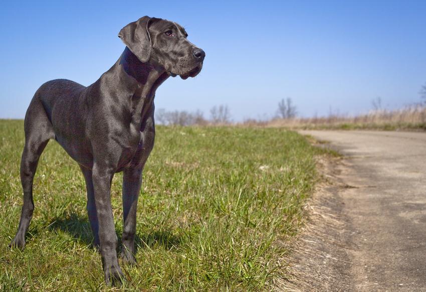 Pies rasy dog niemiecki podczas spaceru, a także buldog niemiecki i jego opis