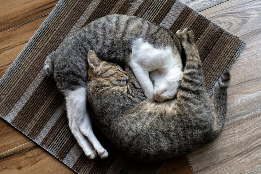 Dwa śpiące przytulone koty oraz najlepsze porady, jak rozpoznać płeć kota