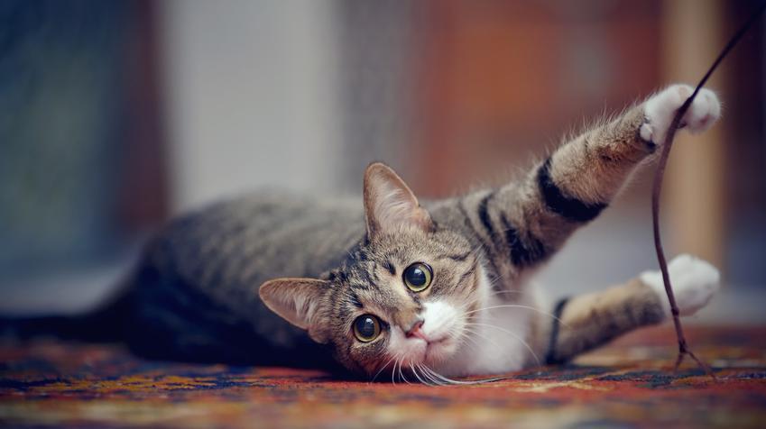 Mały kotek oraz porady, jak rozpoznać płeć kota, w tym u małego kota i kociąt