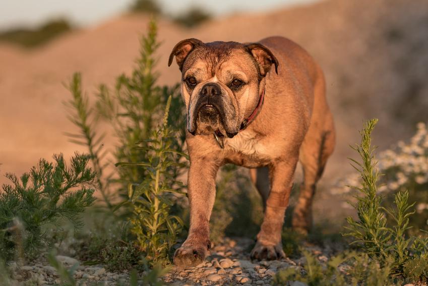 Pies rasy buldog kontynentalny podczas spaceru oraz usposobienie, cena, opis