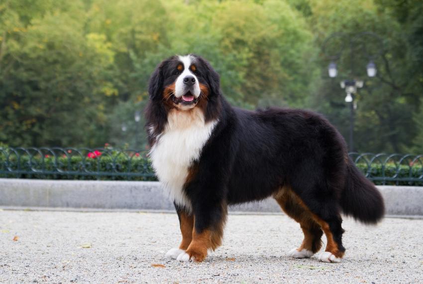 Pies rasy owczarek bengalski, czyli berneński pies pasterski na tle zieleni, a także jego charakter