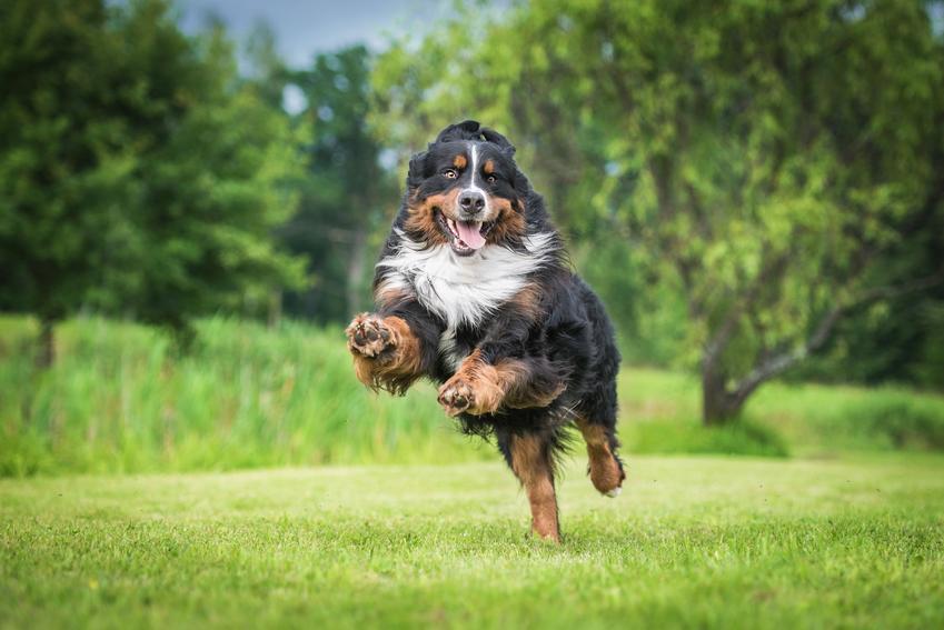 Pies rasy owczarek bengalski, czyli berneński pies pasterski podczas biegania po trawie