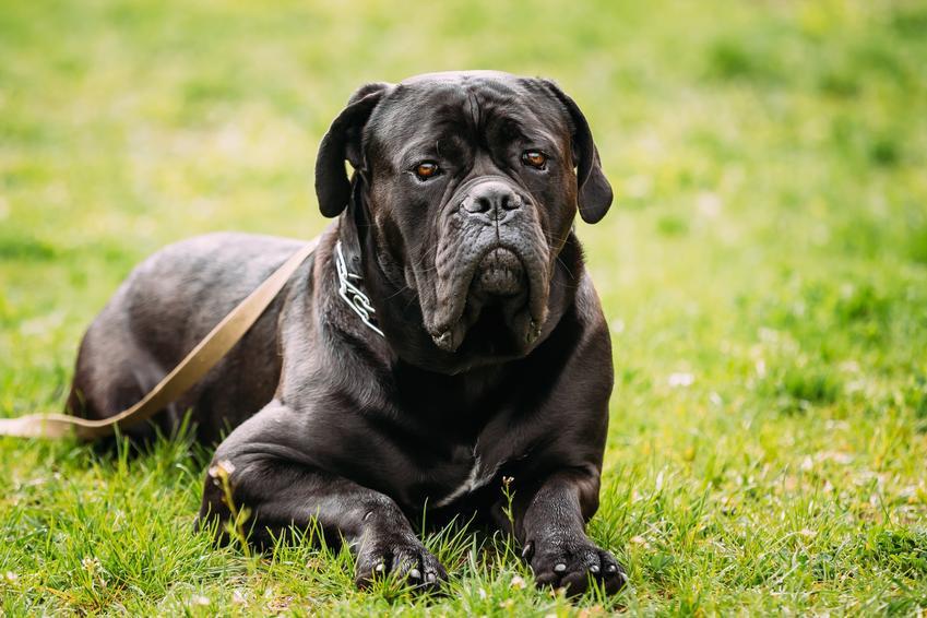 Pies rasy cane corso leżący na trawniku, a także opis i opinie o cane corso