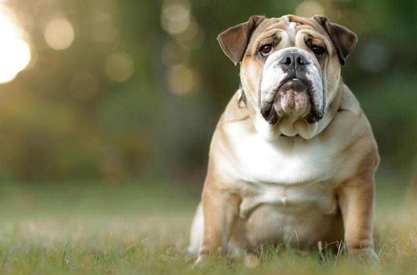 Pies rasy buldog angielski podczas spaceru, a także hodowla buldoga angielskiego w Polsce