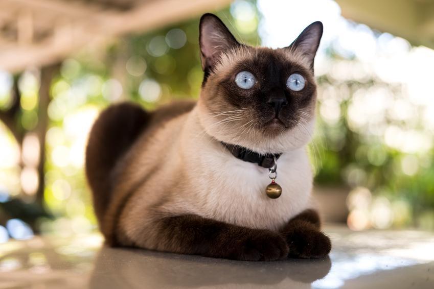Kot syjamski na podwórku, a także hodowla kota syjamskiego w Polsce