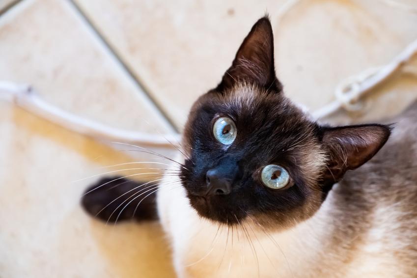 Kot syjamski patrzący w obiektyw, a także hodowla kota syjamskiego w Polsce