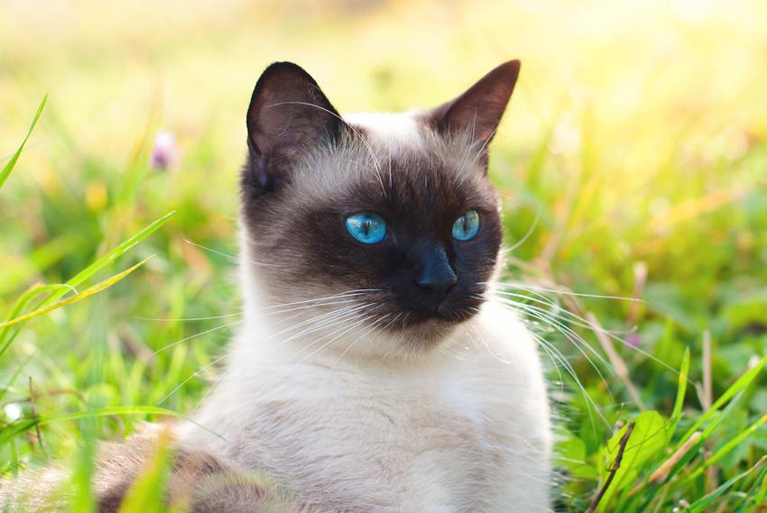 Kot tajski na tle zieleni na podwórku, a także koty tajskie i ich charakter