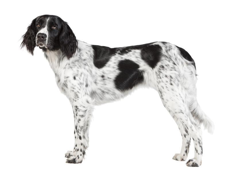 Pies rasy Münsterländer na białym tle oraz jego usposobienie i hodowla