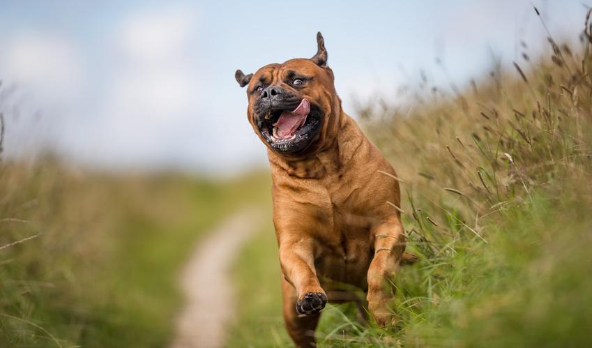 Pies rasy Bullmastiff biegający po trawie, a także jego charakter i cena