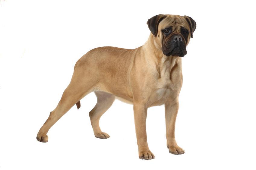 Pies rasy Bullmastiff na białym tle oraz jego usposobienie i hodowla