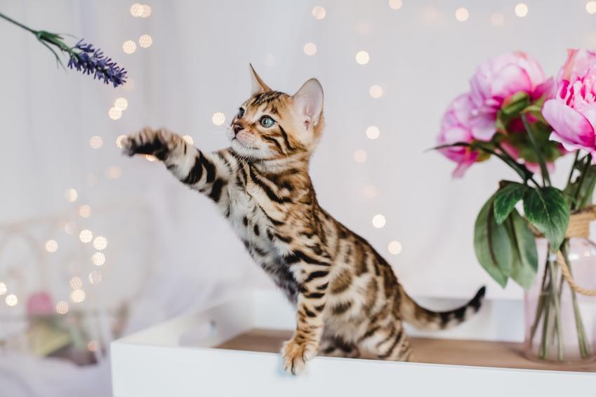 Kot bengalski bawiący się w domu, a także charakter kota bengalskiego i jego cena