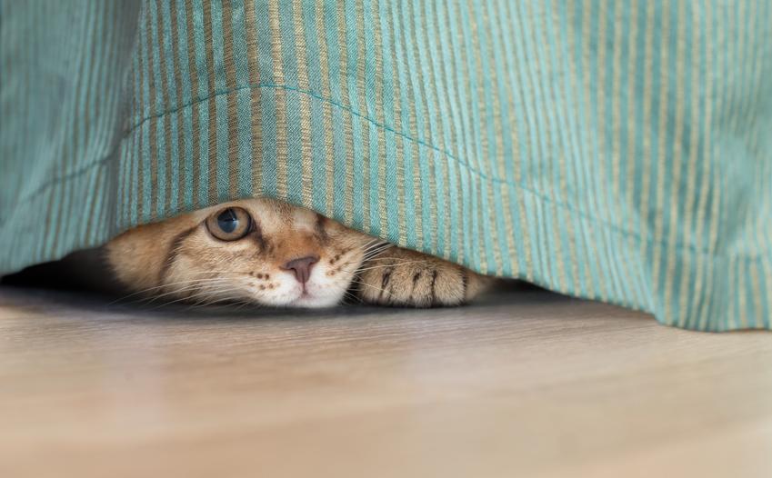 Kot domowy pod łóżkiem wyglądający spod narzuty, a także kotki domowe i informacje na ich temat