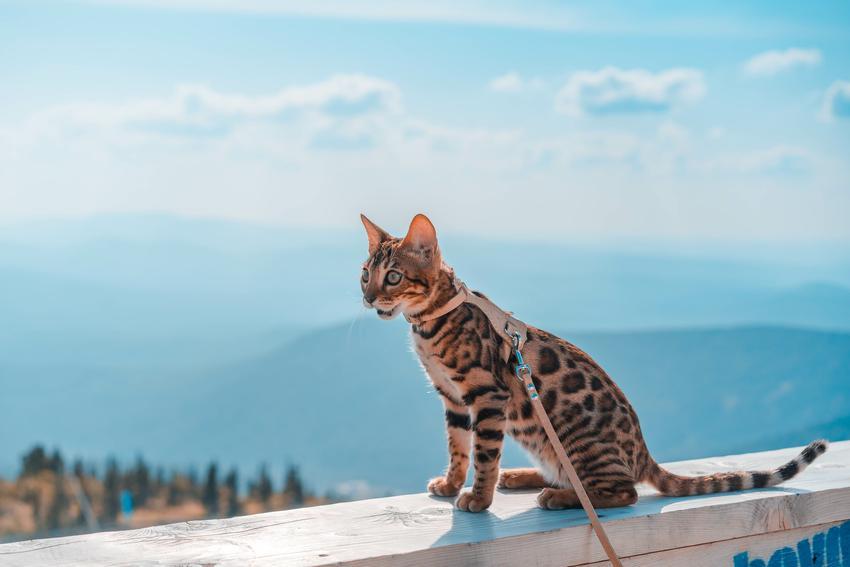 Kot bengalski na tle błękitnego nieba, a także kot bengalski śnieżny i inne odmiany kotów bengalskich