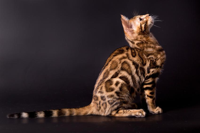 Kot bengalski na czarnym tle, a także kot bengalski śnieżny i inne odmiany kotów bengalskich