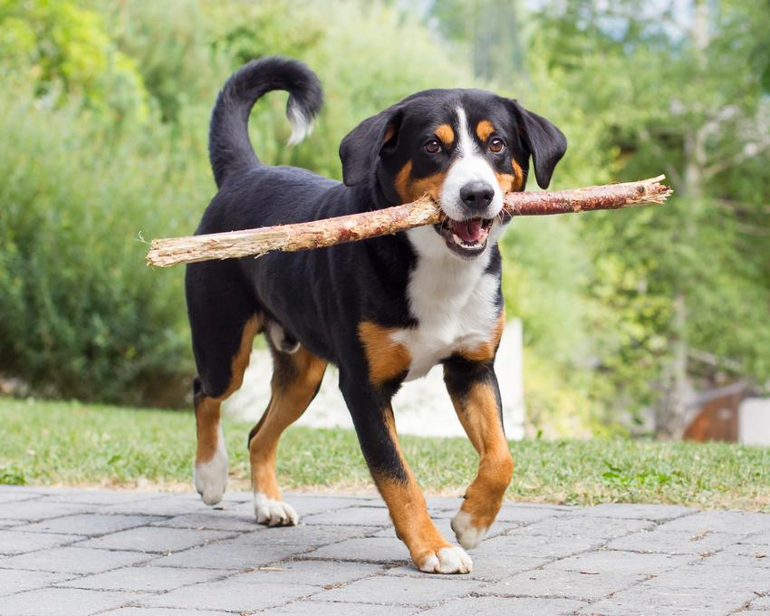 Szwajcarski pies pasterski entlebucher niesący patyk, a także jego charakter i cena