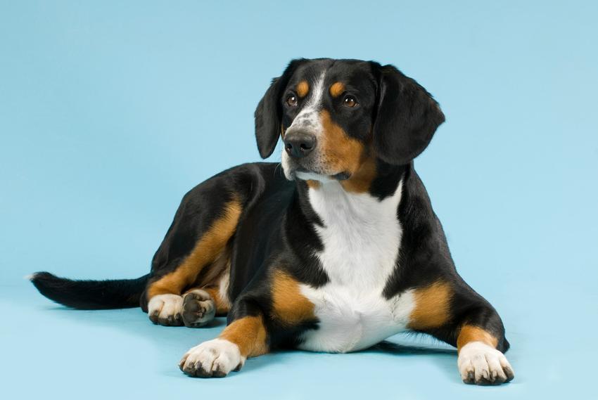 Szwajcarski pies pasterski entlebucher na niebieskim tle oraz jego opis i hodowla