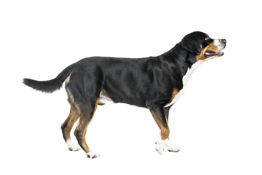 Pies rasy szwajcarski pies pasterski na białym tle oraz jego charakter i hodowla