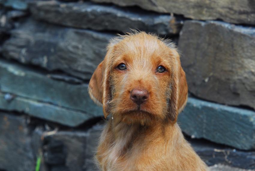 Pies rasy wyżeł węgierski szorstkowłosy patrzący w obiektyw oraz jego charakter i cena