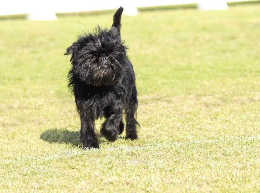 Pies rasy pinczer małpi biegający po trawie oraz jego charakter i cena