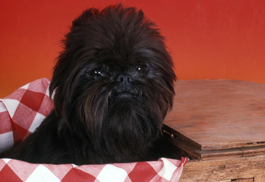 Pies rasy pinczer małpi w koszyku na czerwonym tle oraz jego opis i charakter