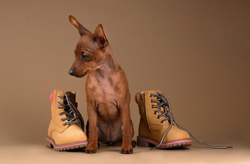 Brązowy pinczer karłowaty przy butach, a także jego opis, charakter i cena