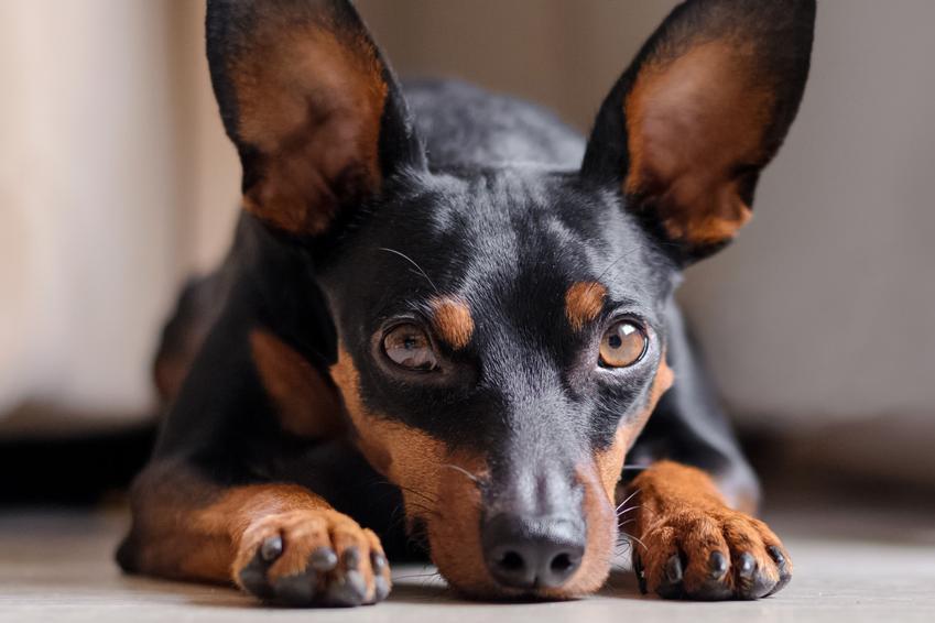 Pies rasy pinczer karłowaty leżący na podłodze, a także jego cena i hodowla