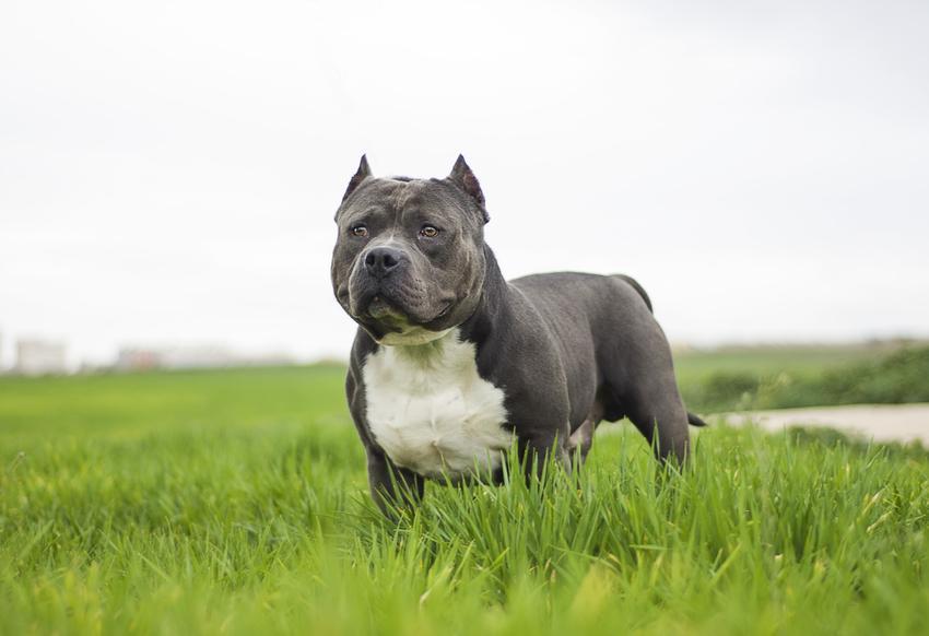 Pies rasy american bully na trawie, a także jego charakter i usposobienie