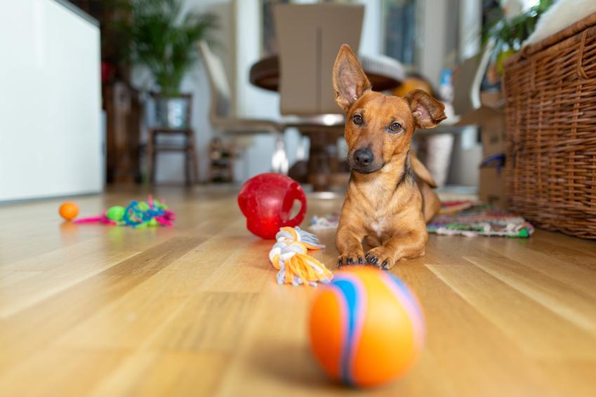Pies siedzący na podłodze, a także zabawki i przeszkody dla psa