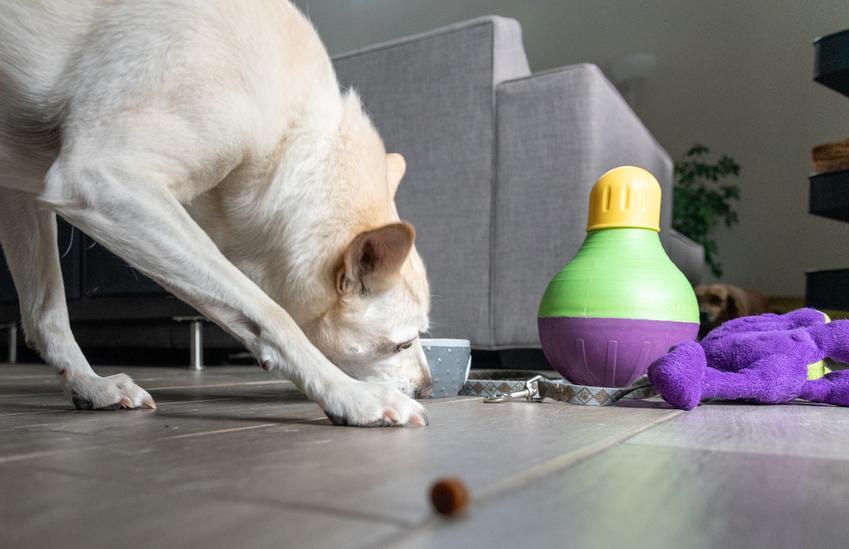 Pies bawiący się na podłodze oraz przeszkody dla psa i tor przeszkód