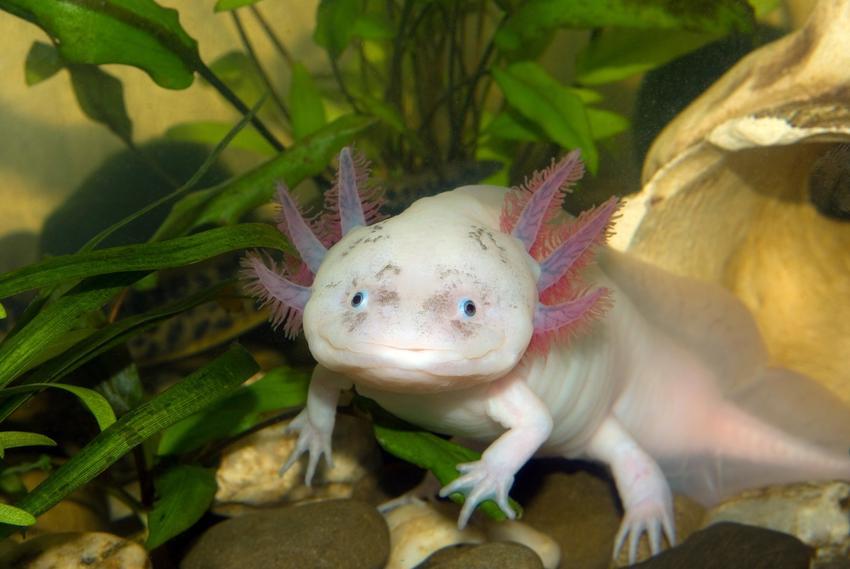 Salamandra meksykańska w akwarium, a także sprzedaż i cena aksolotla