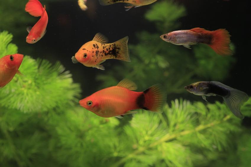 Kolorowe gupiki w akwarium na tle roślin, a także ile żyją gupiki
