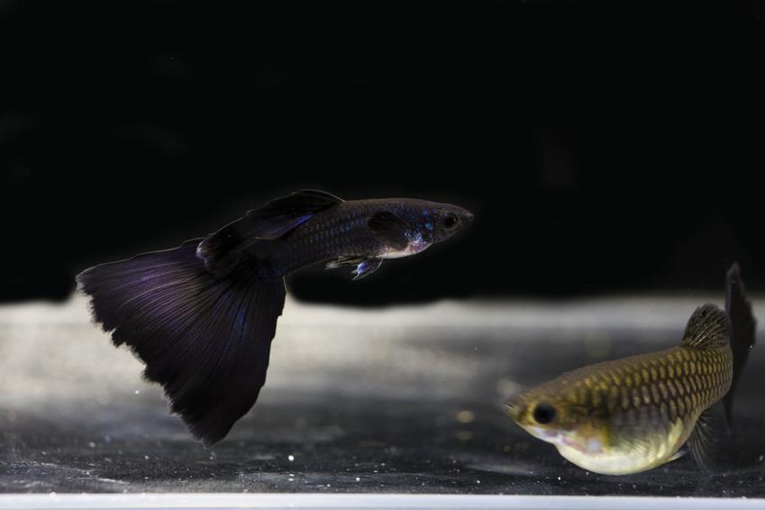 Ryba gupik moskiewski w akwarium, a także jej wymagania i hodowla w akwarium