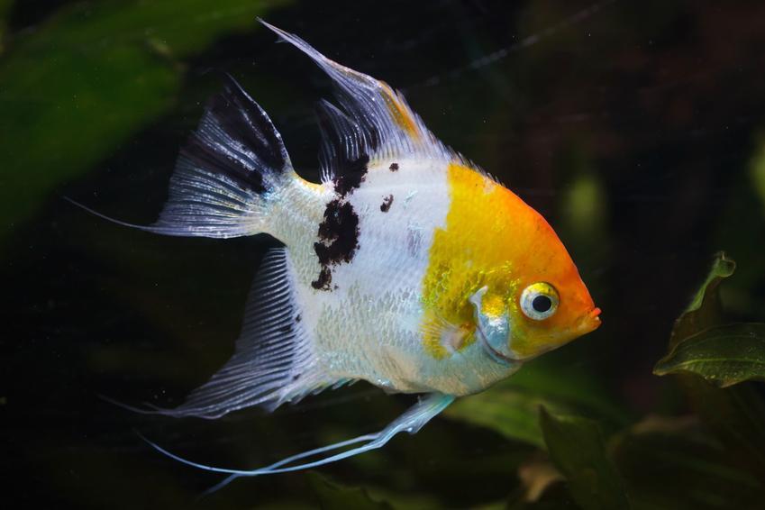 Ryba skalar w akwarium, a także jej odmiany, wymagania i hodowla