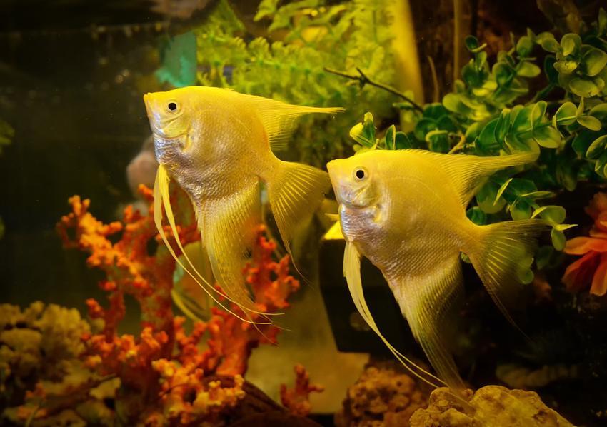 Skalary w akwarium na tle roślinek, a także ryba skalar i jej odmiany
