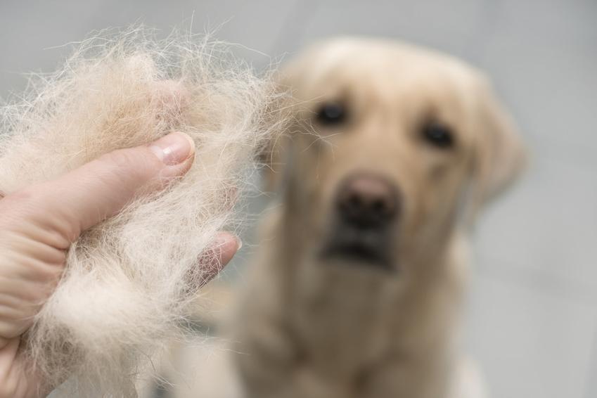 Pies z wypadającą sierścią na szarym tle, a także wypadanie sierści u psa