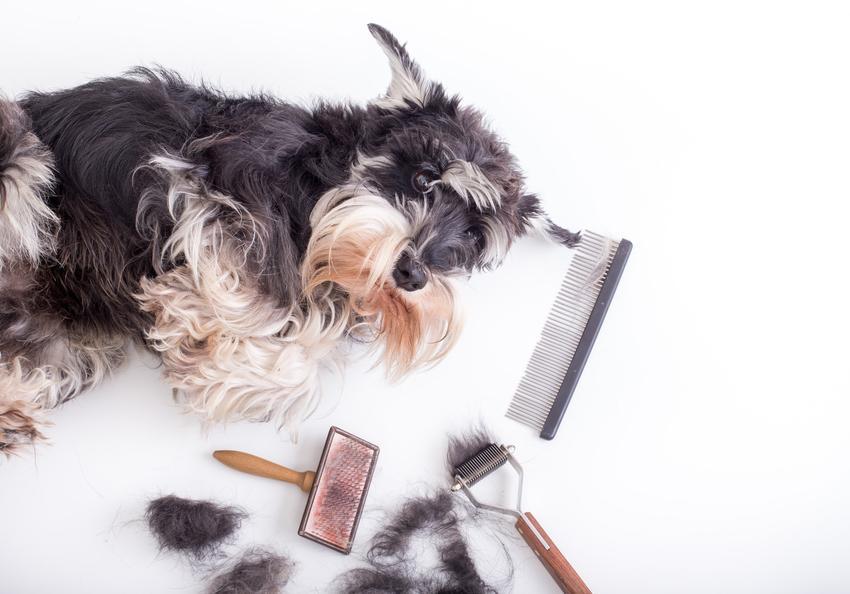 Pies po strzyżeniu leżący na podłodze, a także wypadanie sierści u psa