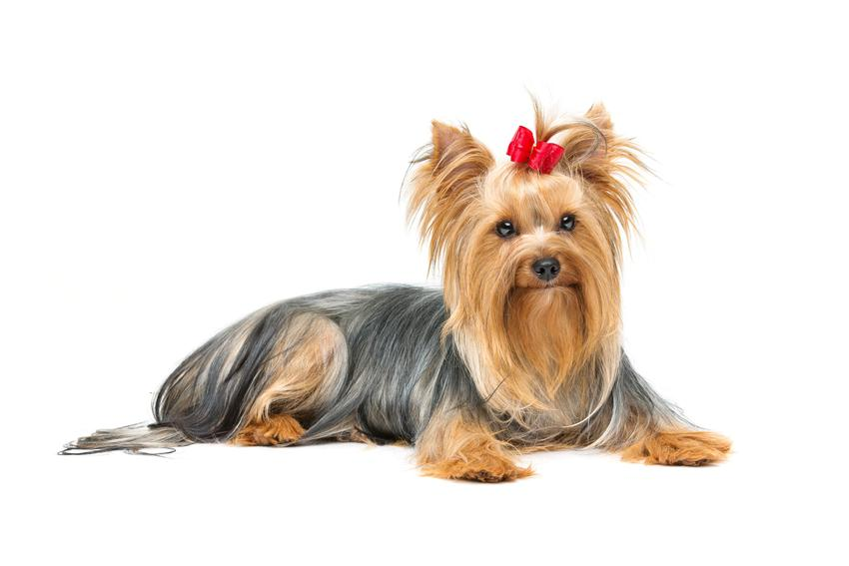 Yorkshiere terrier z kitkami i czerwoną kokardką oraz porady, jak ostrzyc yorka w domu i polecane fryzury