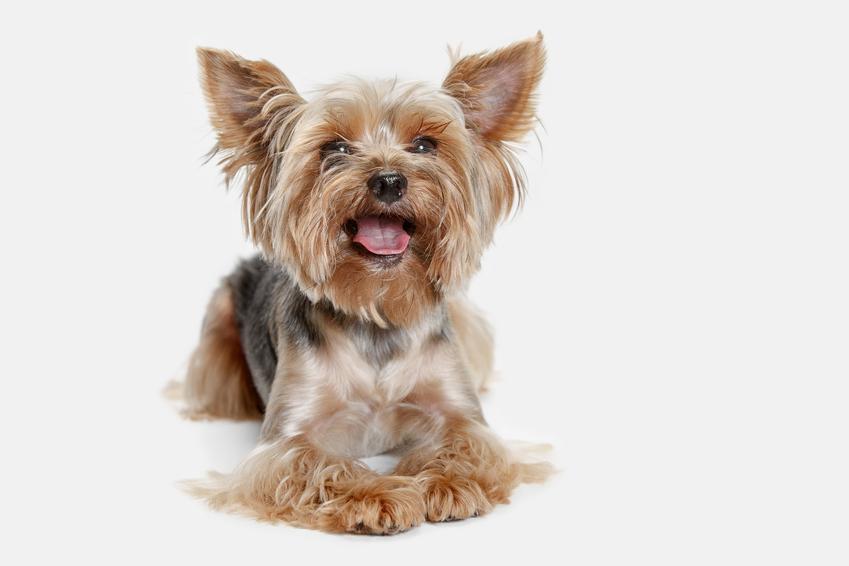 Mały yorkshiere terrier, czyli jak ostrzyc yorka i jakie fryzury warto wybrać dla tej rasy