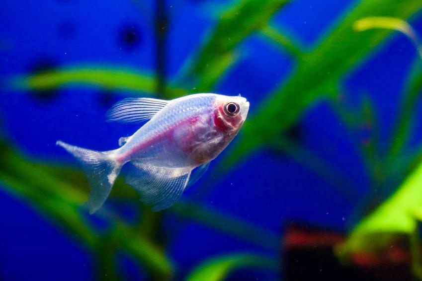 Rybka żałobniczka, gymnocorymbus ternetzi w akwarium, a także jej hodowla i temperatura wody