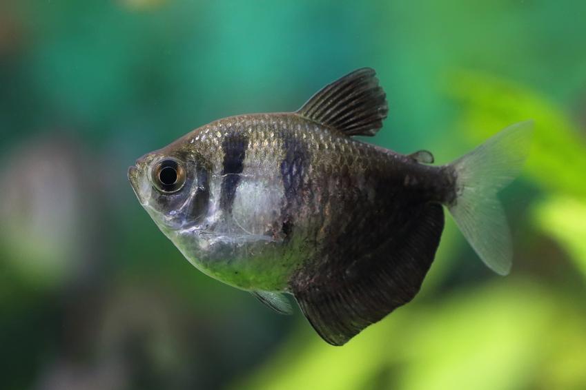 Ryby akwariowe z gatunku żałobniczka, gymnocorymbus ternetzi i ich wymagania