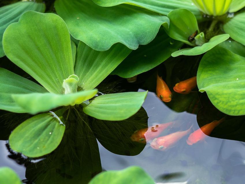 Pistia rozetkowa pistia stratiotes z rybkami w oczku wodnym, a także jej wymagania i rozmnażanie
