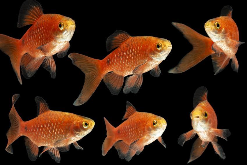 Rybki akwariowe z gatunku brzanka różowa, Balantiocheilos melanopterus, a także ich wymagania