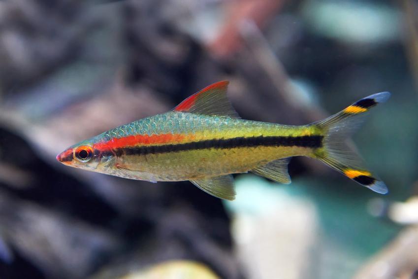 Ryba akwariowa brzanka denisona puntius denisonii w akwarium oraz jej wymagania