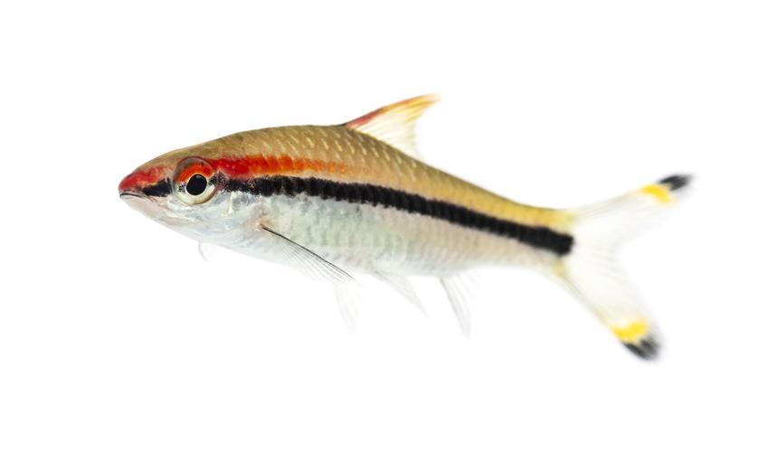 Ryba akwariowa brzanka denisona puntius denisonii na białym tle, a także jej wymagania i cena