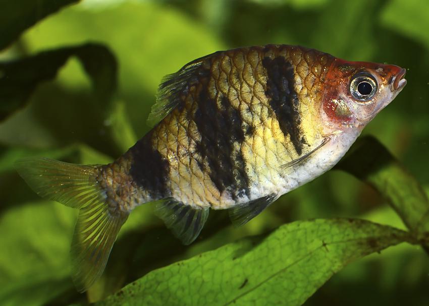 Ryba akwariowa brzanka purpurowa na tle roślin w akwarium oraz jej wymagania