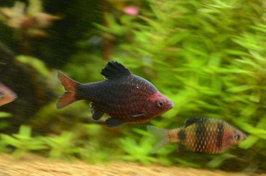 Ryby akwariowe z gatunku brzanka purpurowa w akwarium oraz ich rozmnażanie i hodowla