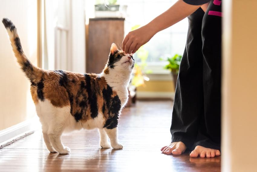 Kot głaskany przez właściciela, a także porady jak wytresować kota domowego