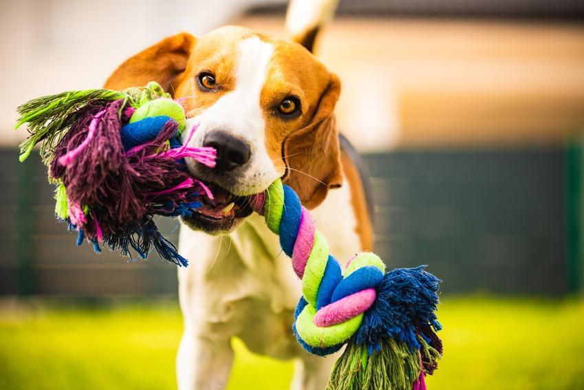 Pies trzymający w pysku zabawkę ze sznurka oraz porady, jak zrobić zabawkę dla psa
