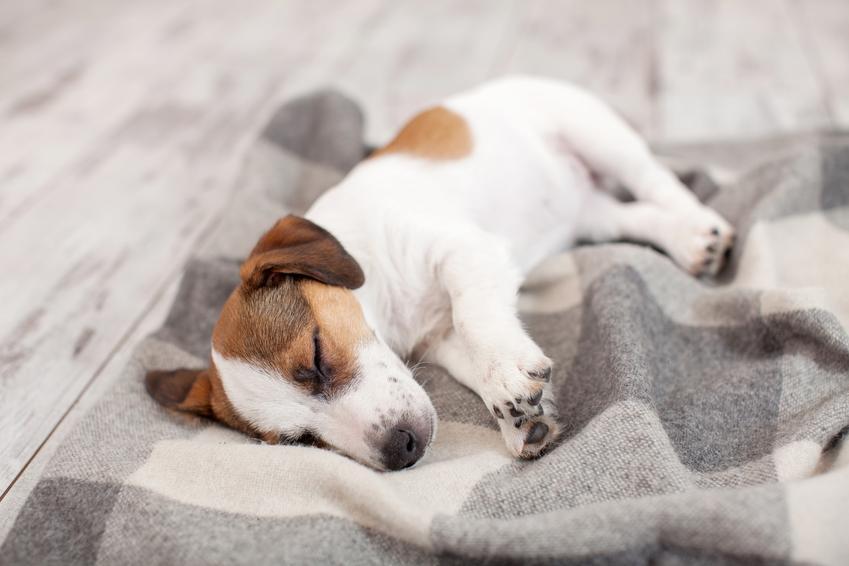 Chory pies leżący na kocu, a także zapalenie trzustki u psa i jego objawy